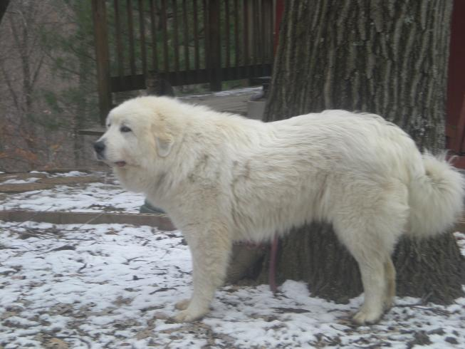 Great Pyrenees Livestock Guard Dogs